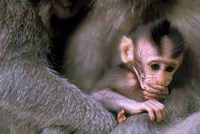 Indonesia, Bali, Ubud, Long tailed macaque by Paul Souders - various sizes