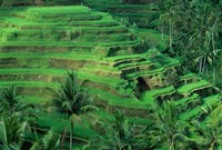 Bali, Tegallalan, Rice Terrace Fine Art Print