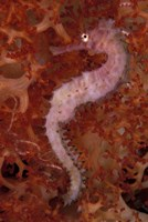 Thorny Seahorse on Soft Coral, Indonesia Fine Art Print