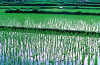 Rice Cultivation, Bali, Indonesia Fine Art Print