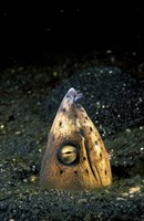Blackfin Snake Eel with cleaner shrimp, North Sulawesi, Indonesia by Michele Westmorland - various sizes