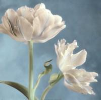 "White Tulip II by Sondra Wampler - 18"" x 18"""