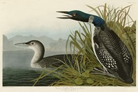 Great Northern Diver or Loon Fine Art Print