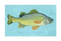 """White Perch by John W. Golden - 19"""" x 13"""""""