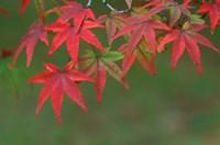 Maple Leaves, Kyoto, Japan Fine Art Print