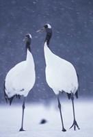 Red-crowned Crane, Hokkaido, Japan Fine Art Print