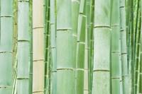 Bambloo Forest, Sagano, Arashiyama, Kyoto, Japan by Rob Tilley - various sizes