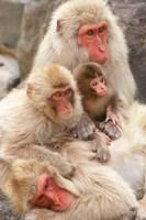 Japan, Nagano, Jigokudani, Snow Monkey Family by Rob Tilley - various sizes