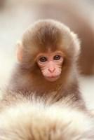 Japan, Nagano, Jigokudani, Snow Monkey Baby by Rob Tilley - various sizes