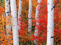 Aspens and Maples Framed Print