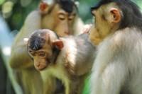 Southern Pig-Tailed Macaque, Sepilok, Borneo, Malaysia Fine Art Print