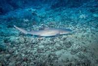 WhiteTip Reef Shark, Malaysia Fine Art Print