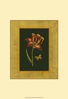 Tulip in Frame II Fine Art Print