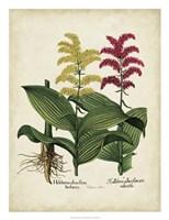Besler Florilegium II Fine Art Print