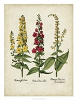 Besler Florilegium III Fine Art Print