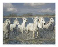 White Horses of the Camargue Framed Print