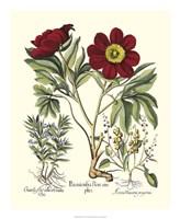 Red Besler Peonie IV Fine Art Print