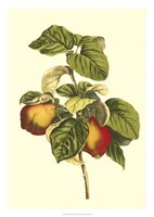 Bessa Pear Fine Art Print