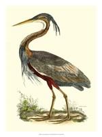 Purple Heron Fine Art Print