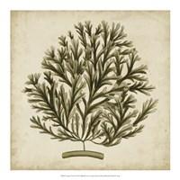 """Vintage Seaweed I by Georg C. Oeder - 18"""" x 18"""""""