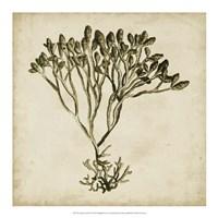 """Vintage Seaweed IV by Georg C. Oeder - 18"""" x 18"""""""