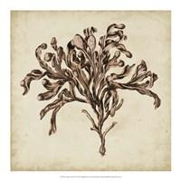 """Vintage Seaweed VI by Georg C. Oeder - 18"""" x 18"""""""