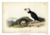 "Audubon Arctic Puffin by John James Audubon - 26"" x 18"""
