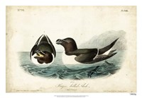 "Audubon Razor-billed Auk by John James Audubon - 26"" x 18"""