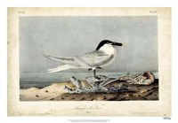 "Audubon Sandwich Tern by John James Audubon - 26"" x 18"""