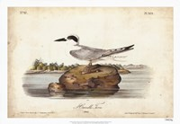 "Audubon Havells Tern by John James Audubon - 26"" x 18"""