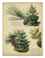 "Red Pine & Eastern White Pine - 20"" x 26"""