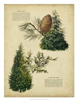 Deodar Cedar & Eastern Red Cedar Fine Art Print