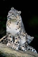 Snow Leopard, Uncia uncia, Panthera uncia, Asia Fine Art Print