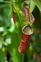 Old World carnivorous pitcher plant hanging from tendril, Penang, Malaysia Fine Art Print