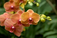 Singapore. National Orchid Garden - Peach Orchids Fine Art Print