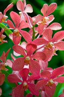 Singapore. National Orchid Garden - salmon colored Orchids Fine Art Print
