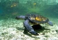 Green Sea Turtle Savai'i Island, Western Samoa by Michael DeFreitas - various sizes