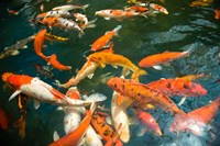 Ornament Koi or Common Carp, Shopping Mall Pond, Malacca, Historic Melaka, Malaysia Peninsula, Malaysia, SE Asia by Stuart Westmorland - various sizes - $24.49