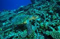 Sea tutle, Southern Maldives, Indian Ocean Fine Art Print