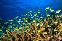 Schooling Damselfish, North Huvadhoo Atoll, Southern Maldives, Indian Ocean Fine Art Print