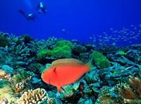 Sheephead Parrotfish, North Huvadhoo Atoll, Southern Maldives, Indian Ocean Fine Art Print