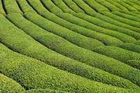 Tea Field in Rize, Black Sea region of Turkey by Ali Kabas - various sizes