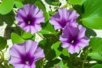Thailand, Ko Miang Island, Similan Island flowers Fine Art Print