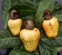 Cashew Nuts, Thailand Fine Art Print