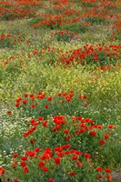 Red Poppy Field in Central Turkey during springtime bloom Fine Art Print