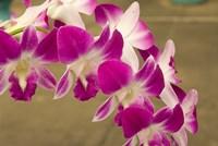 Cambodia, Phnom Penh, Royal Palace, Orchids Fine Art Print