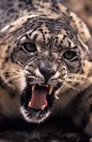 Tibet, Snow Leopard, captive by Stuart Westmorland - various sizes - $34.99