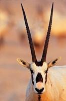 Arabian Oryx wildlife on Sir Bani Yas Island, UAE by Martin Zwick - various sizes