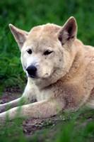 Dingo, Australia by David Wall - various sizes