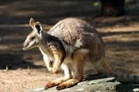 Kangaroo, Taronga Zoo, Sydney, Australia by David Wall - various sizes